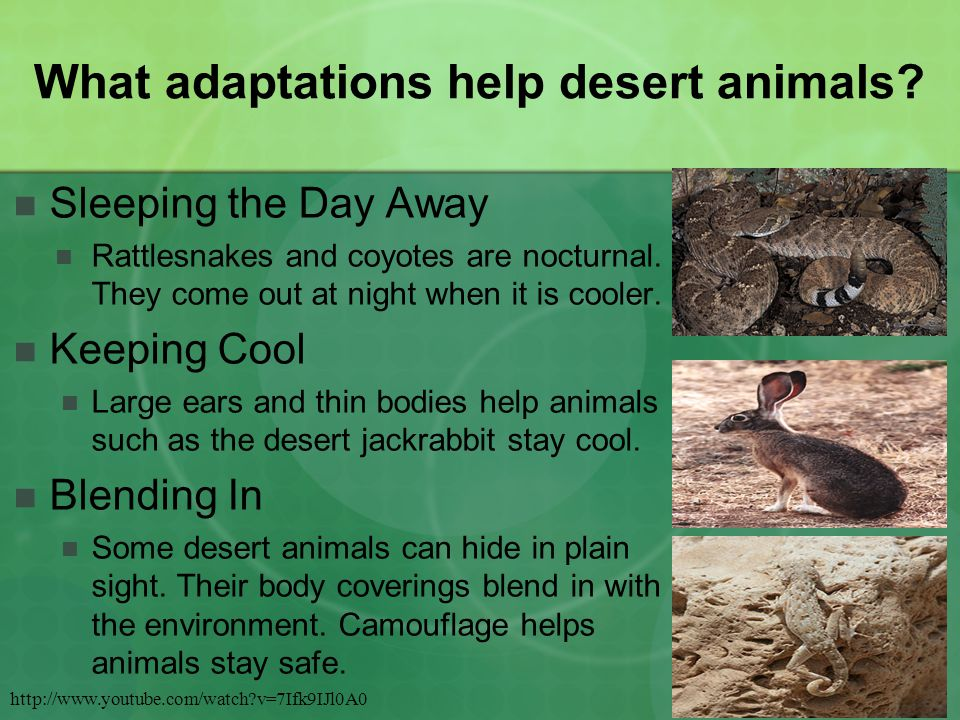 What adaptations help desert animals.Sleeping the Day Away Rattlesnakes and coyotes are nocturnal.