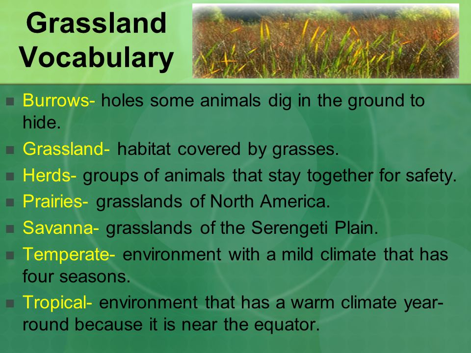 Grassland Vocabulary Burrows- holes some animals dig in the ground to hide.