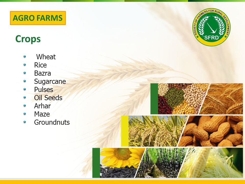 Wheat Rice Bazra Sugarcane Pulses Oil Seeds Arhar Maze Groundnuts AGRO FARMS Crops