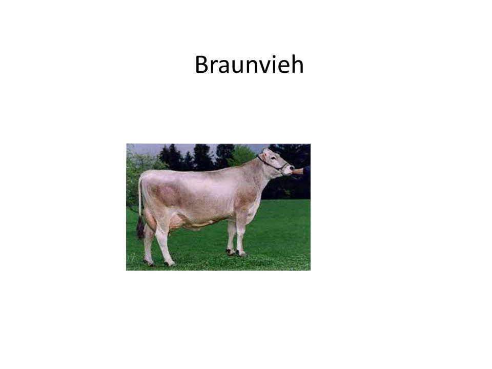 Braunvieh