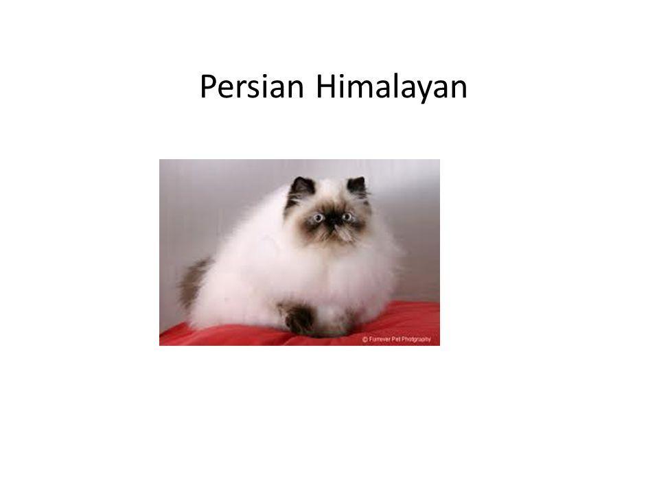 Persian Himalayan