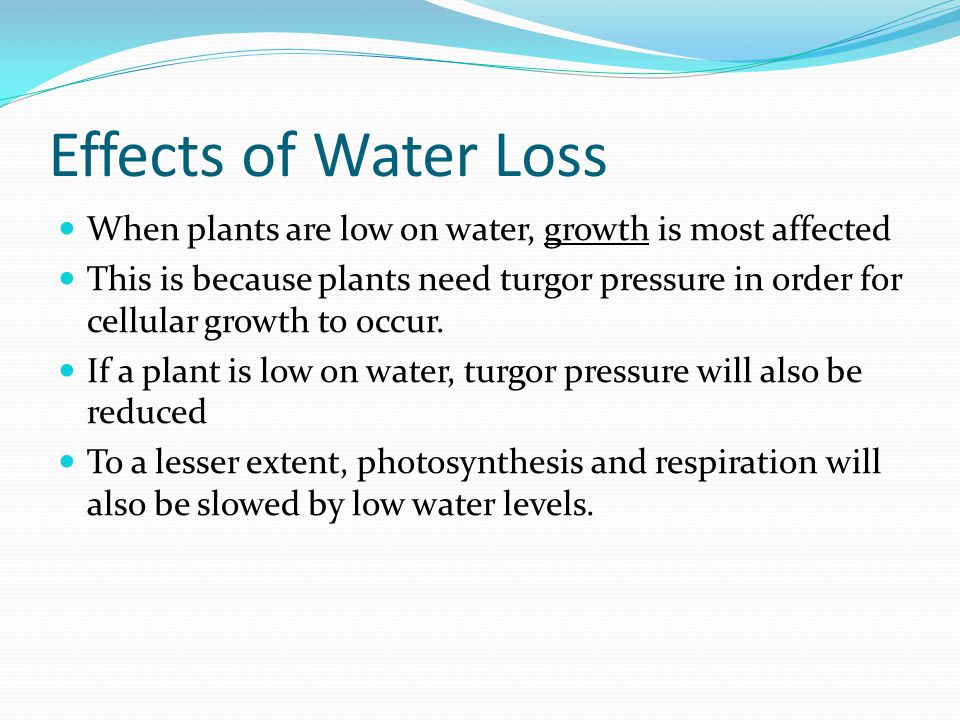 Effects of Water Loss When plants are low on water, growth is most affected This is because plants need turgor pressure in order for cellular growth t