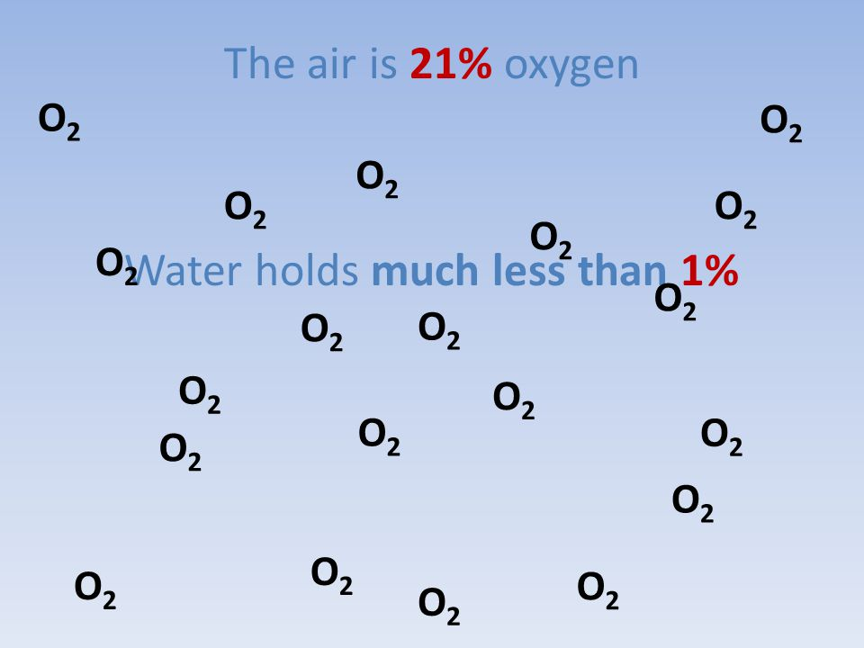 The air is 21% oxygen Water holds much less than 1% O2O2 O2O2 O2O2 O2O2 O2O2 O2O2 O2O2 O2O2 O2O2 O2O2 O2O2 O2O2 O2O2 O2O2 O2O2 O2O2 O2O2 O2O2 O2O2 O2O2