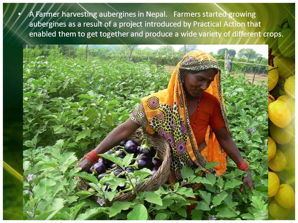 A Farmer harvesting aubergines in Nepal.