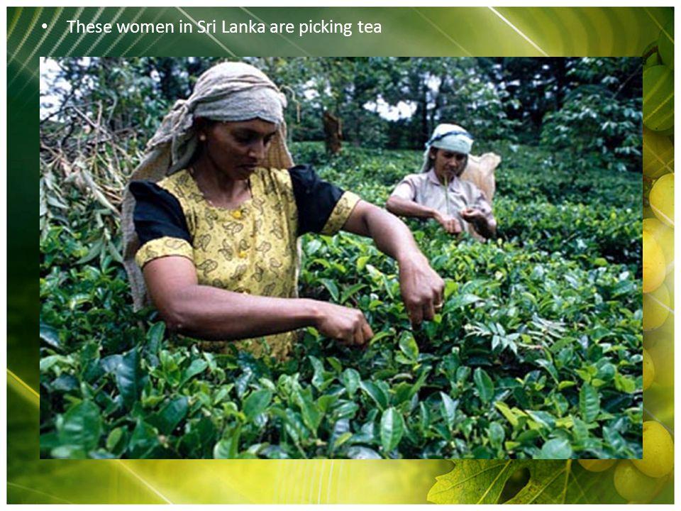 These women in Sri Lanka are picking tea