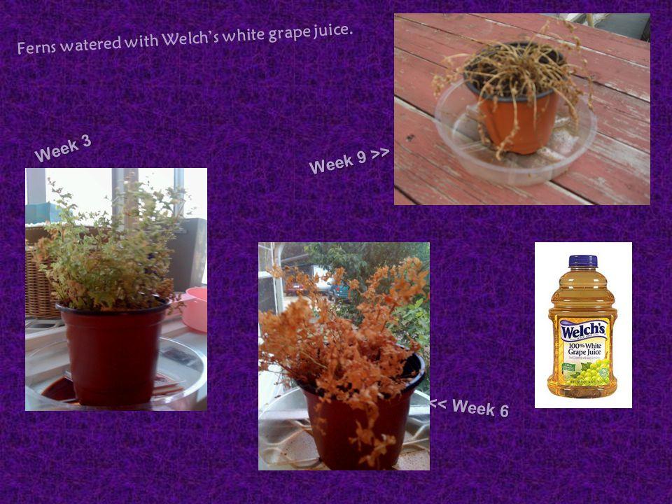 Week 3 Week 9 >> Ferns watered with Welch's white grape juice. << Week 6