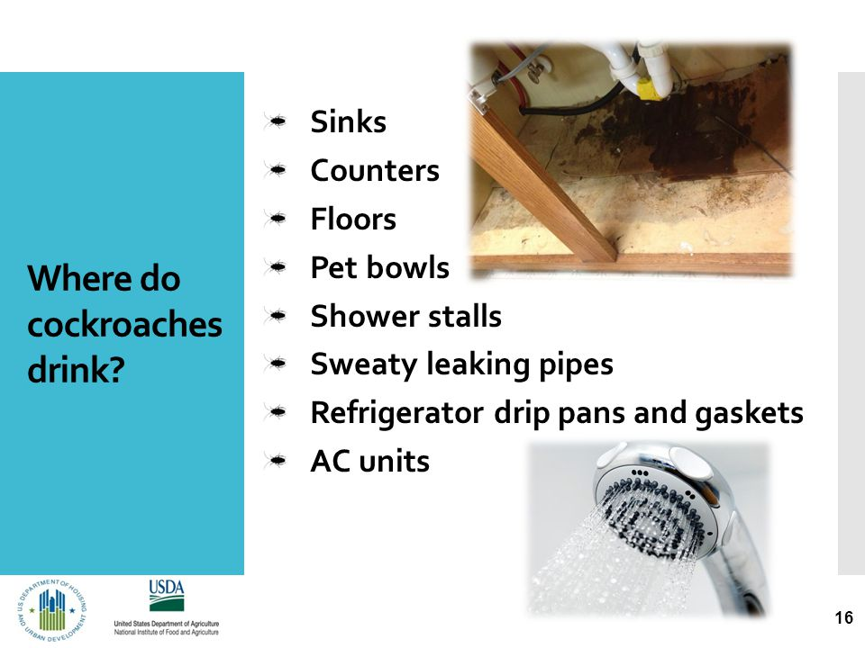 Where do cockroaches drink? 16 Sinks Counters Floors Pet bowls Shower stalls Sweaty leaking pipes Refrigerator drip pans and gaskets AC units