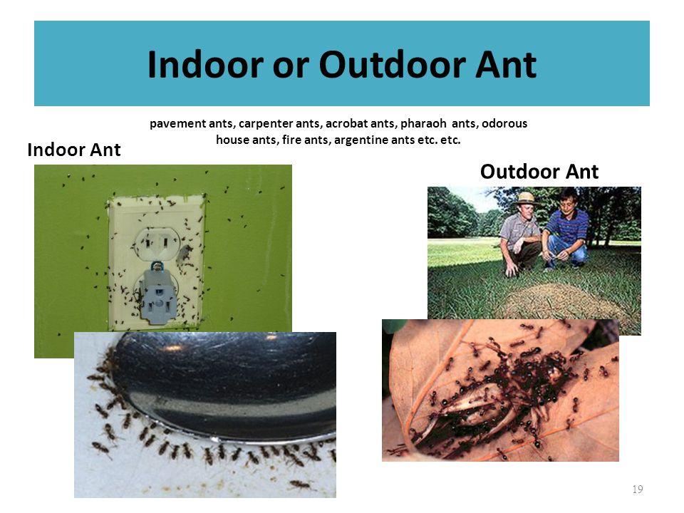 Indoor or Outdoor Ant Indoor Ant Outdoor Ant 19 pavement ants, carpenter ants, acrobat ants, pharaoh ants, odorous house ants, fire ants, argentine ants etc.