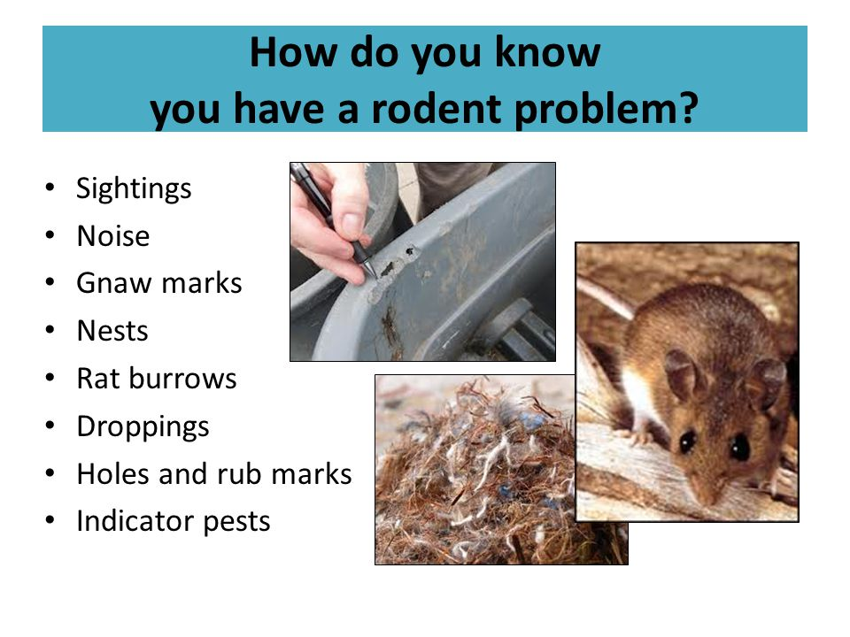 How do you know you have a rodent problem? Sightings Noise Gnaw marks Nests Rat burrows Droppings Holes and rub marks Indicator pests