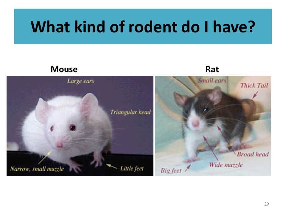 What kind of rodent do I have? MouseRat 29