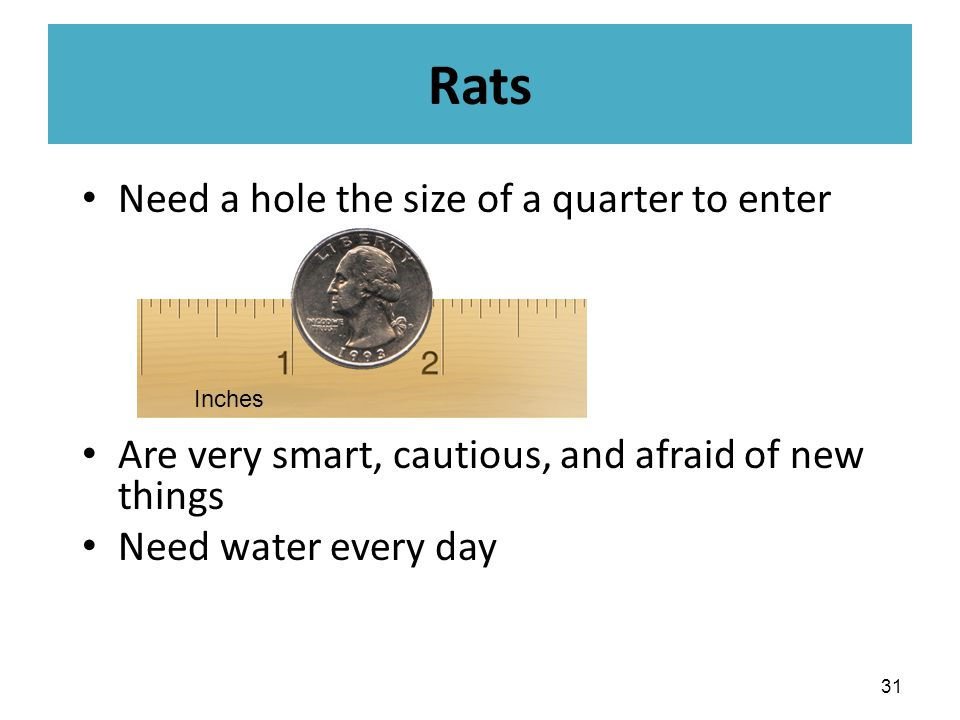 Need a hole the size of a quarter to enter Are very smart, cautious, and afraid of new things Need water every day 31 Inches Rats
