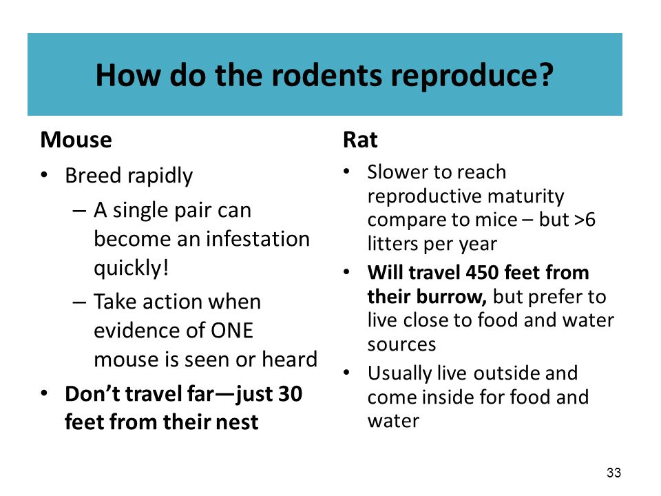 How do the rodents reproduce? Mouse Breed rapidly – A single pair can become an infestation quickly! – Take action when evidence of ONE mouse is seen