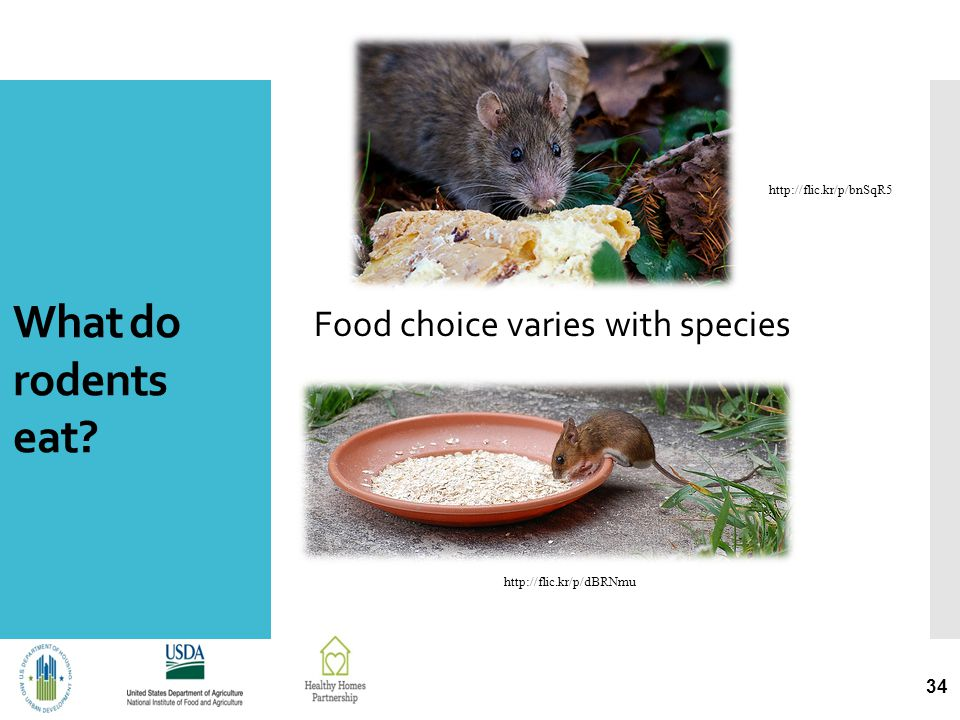 What do rodents eat? Food choice varies with species 34 http://flic.kr/p/dBRNmu http://flic.kr/p/bnSqR5