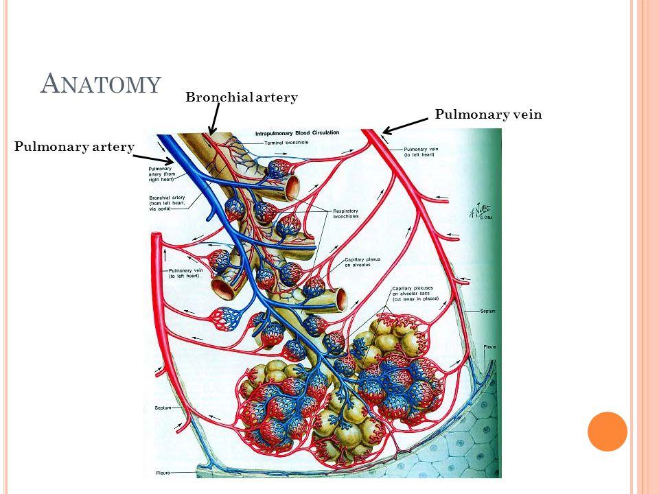 A NATOMY Bronchial artery Pulmonary artery Pulmonary vein