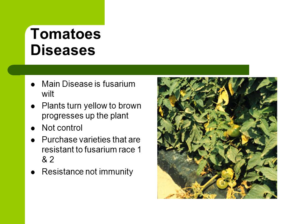 Tomatoes Diseases Main Disease is fusarium wilt Plants turn yellow to brown progresses up the plant Not control Purchase varieties that are resistant to fusarium race 1 & 2 Resistance not immunity