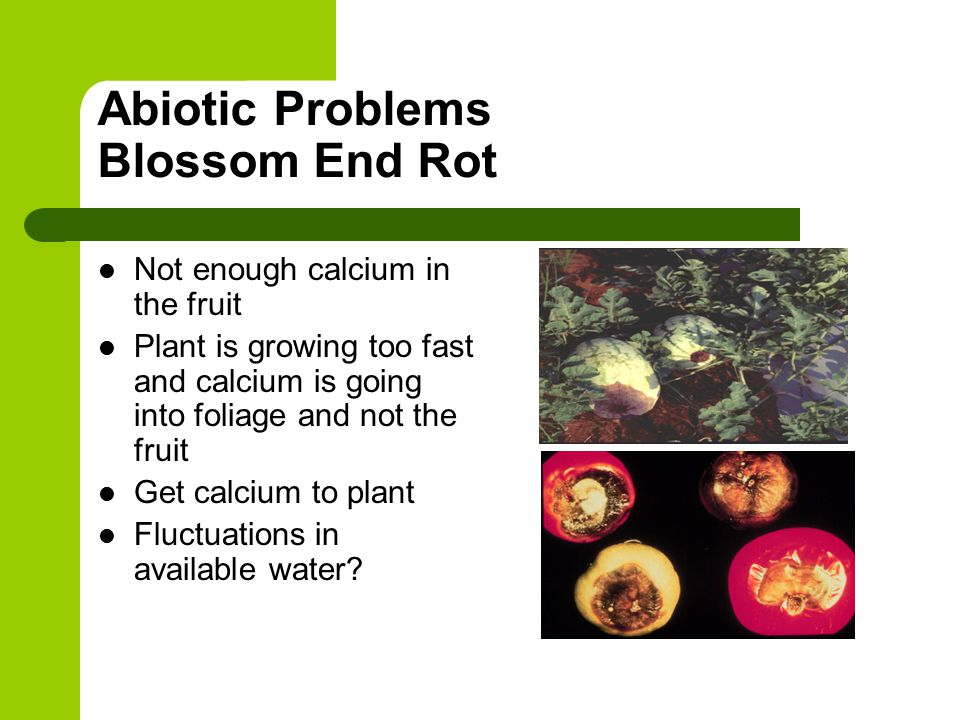 Abiotic Problems Blossom End Rot Not enough calcium in the fruit Plant is growing too fast and calcium is going into foliage and not the fruit Get calcium to plant Fluctuations in available water