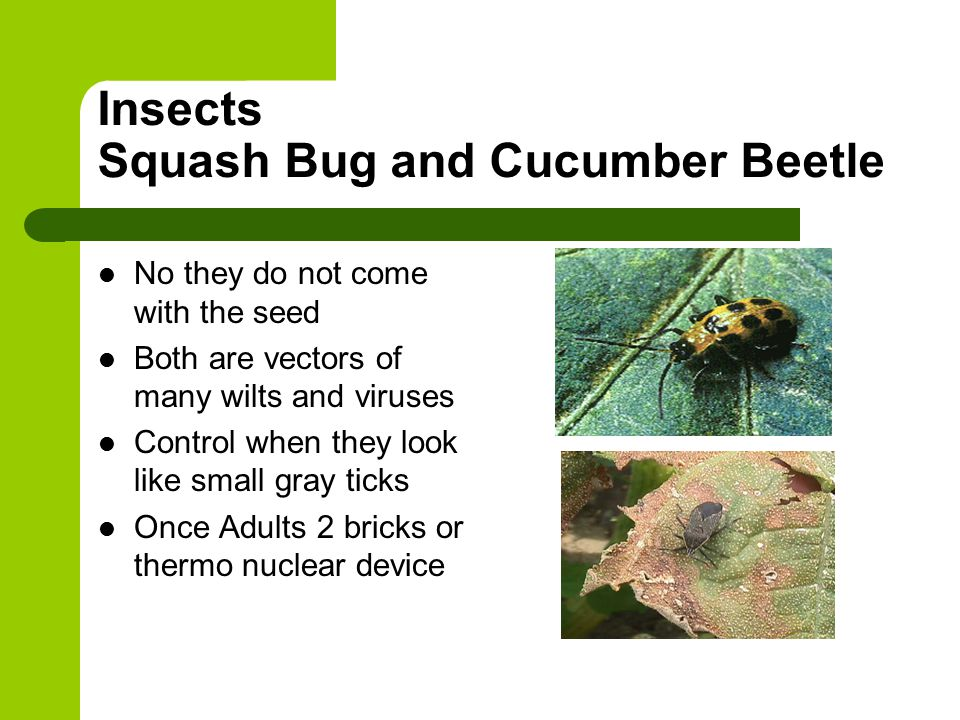 Insects Squash Bug and Cucumber Beetle No they do not come with the seed Both are vectors of many wilts and viruses Control when they look like small gray ticks Once Adults 2 bricks or thermo nuclear device