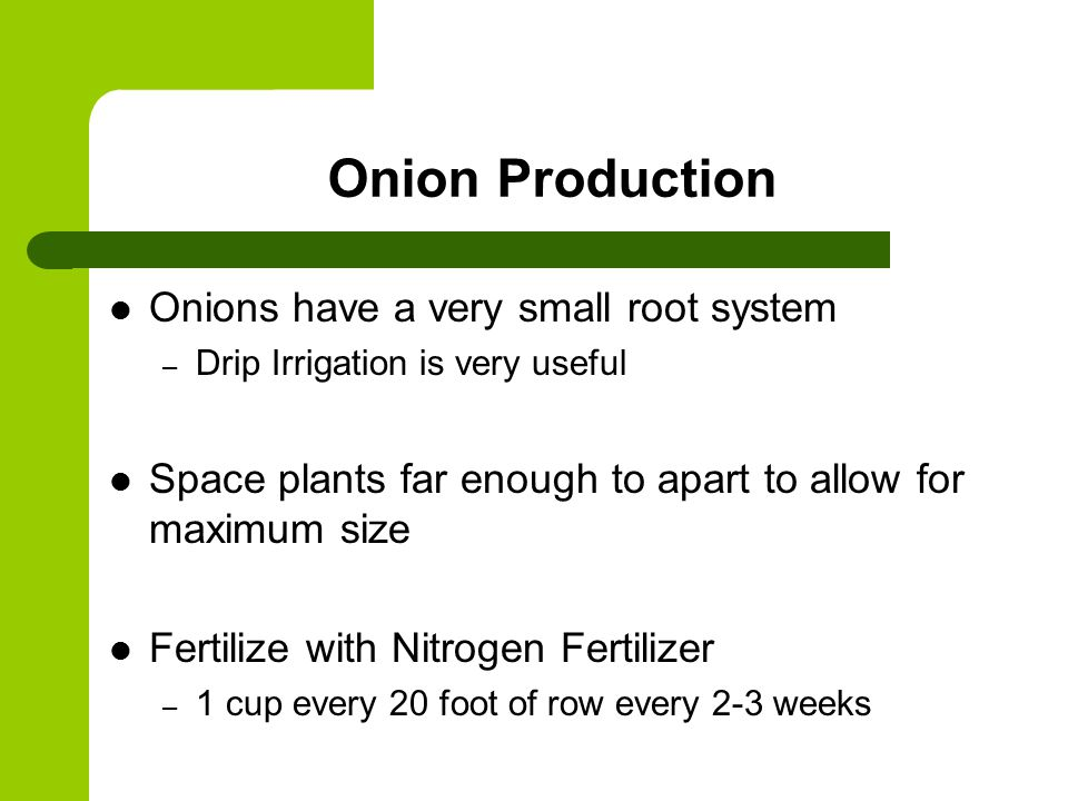 Onion Production Onions have a very small root system – Drip Irrigation is very useful Space plants far enough to apart to allow for maximum size Fertilize with Nitrogen Fertilizer – 1 cup every 20 foot of row every 2-3 weeks