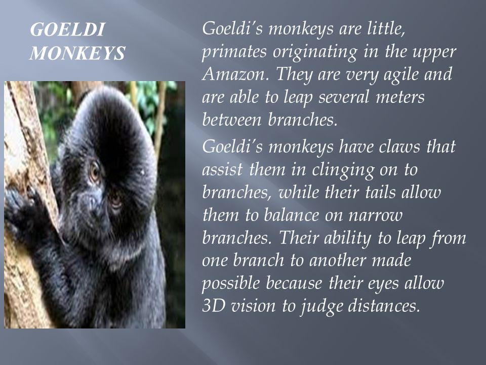 GOELDI MONKEYS Goeldi's monkeys are little, primates originating in the upper Amazon.