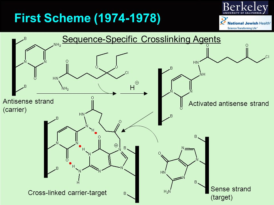 First Scheme (1974-1978) H Antisense strand (carrier) Sense strand (target) Cross-linked carrier-target Sequence-Specific Crosslinking Agents Activated antisense strand