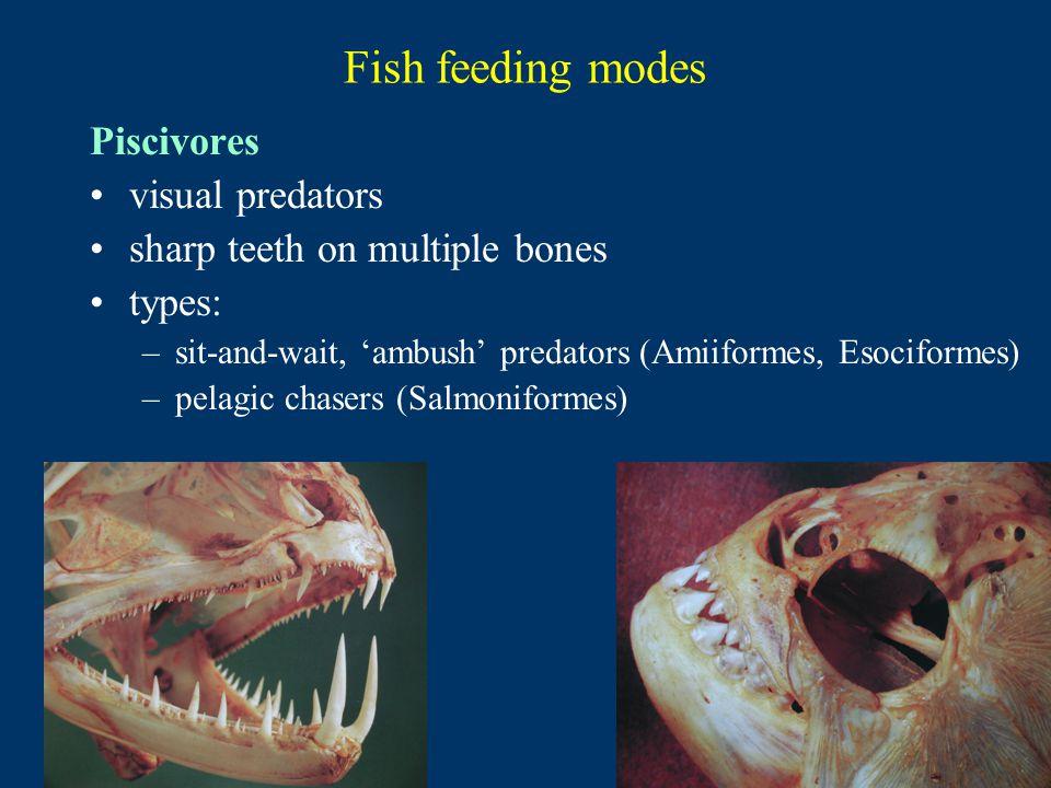 Fish feeding modes Piscivores visual predators sharp teeth on multiple bones types: –sit-and-wait, 'ambush' predators (Amiiformes, Esociformes) –pelagic chasers (Salmoniformes)