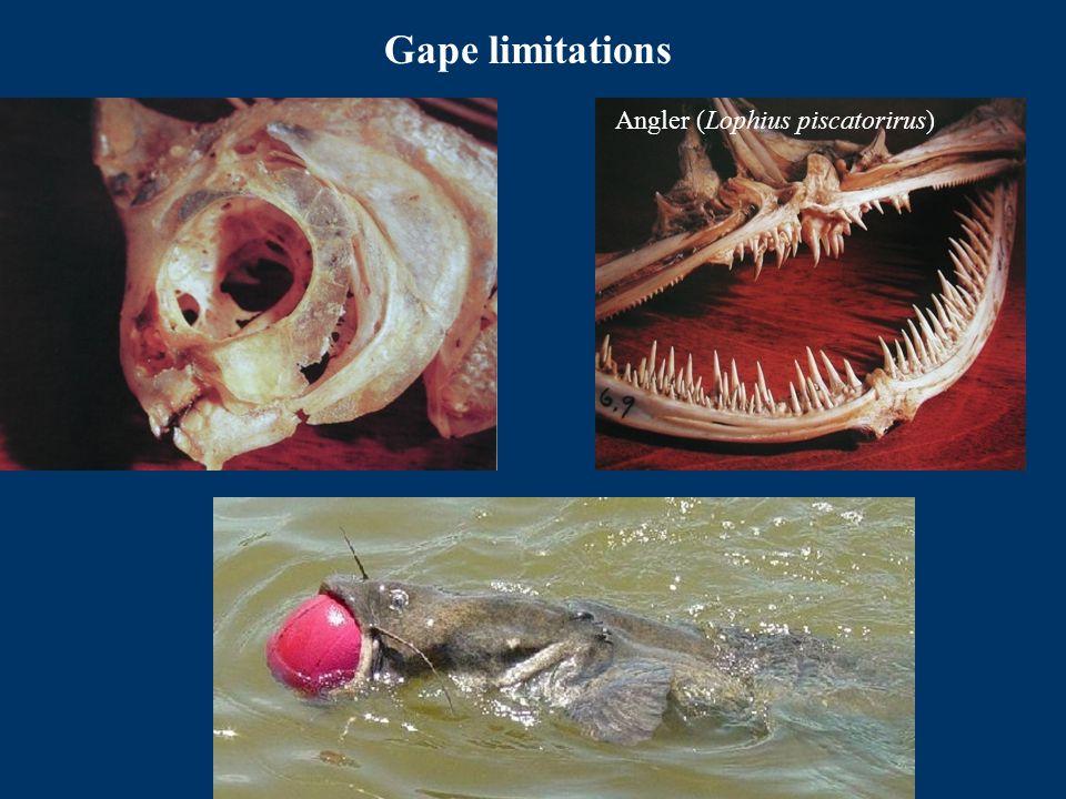 Gape limitations Angler (Lophius piscatorirus)