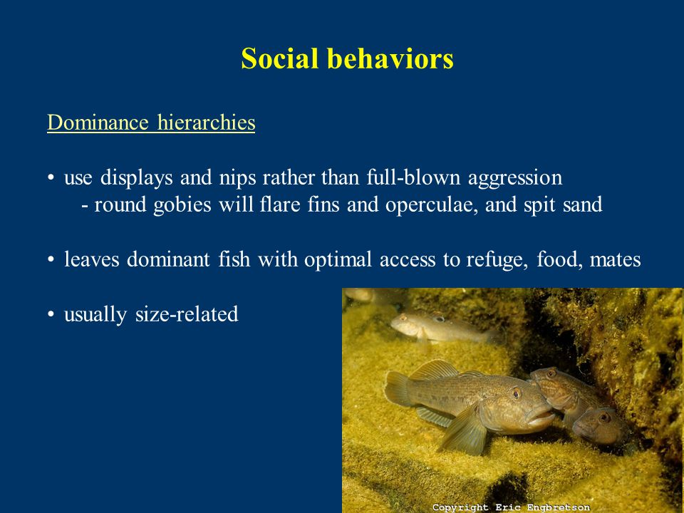 Social behaviors Dominance hierarchies use displays and nips rather than full-blown aggression - round gobies will flare fins and operculae, and spit sand leaves dominant fish with optimal access to refuge, food, mates usually size-related