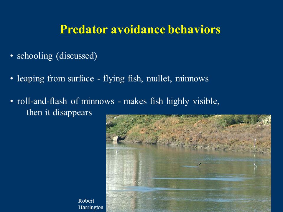 Predator avoidance behaviors schooling (discussed) leaping from surface - flying fish, mullet, minnows roll-and-flash of minnows - makes fish highly visible, then it disappears Robert Harrington