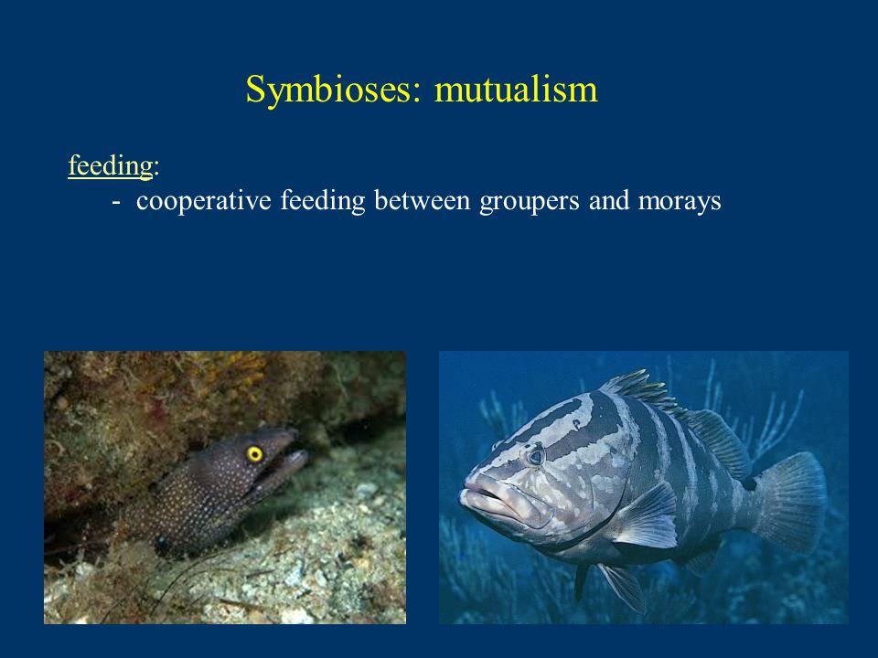 Symbioses: mutualism feeding: - cooperative feeding between groupers and morays