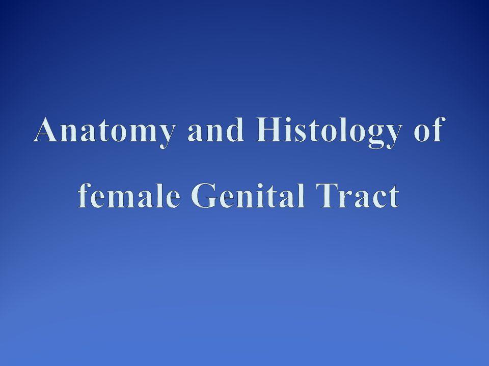 cervix Body of the uterus Fundus of the uterus The uterus Uterus is lined by simple columnar ciliated cells