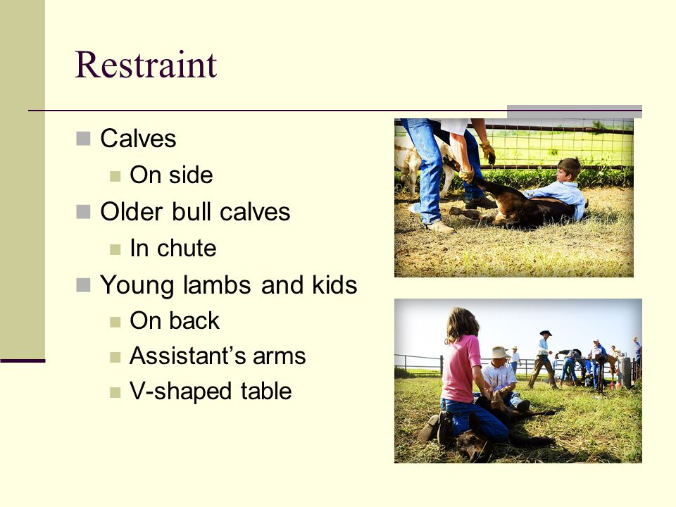 Restraint Calves On side Older bull calves In chute Young lambs and kids On back Assistant's arms V-shaped table