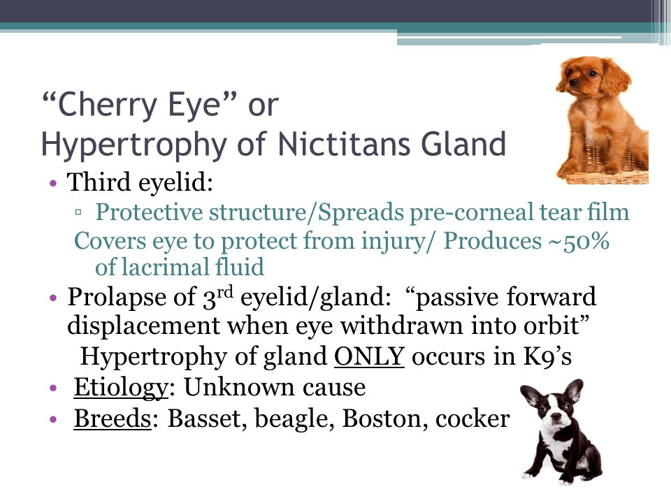 """""""Cherry Eye"""" or Hypertrophy of Nictitans Gland Third eyelid: ▫Protective structure/Spreads pre-corneal tear film Covers eye to protect from injury/ Pr"""