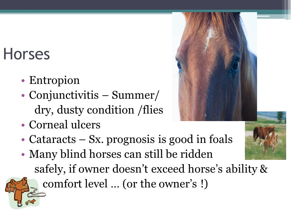 Horses Entropion Conjunctivitis – Summer/ dry, dusty condition /flies Corneal ulcers Cataracts – Sx. prognosis is good in foals Many blind horses can