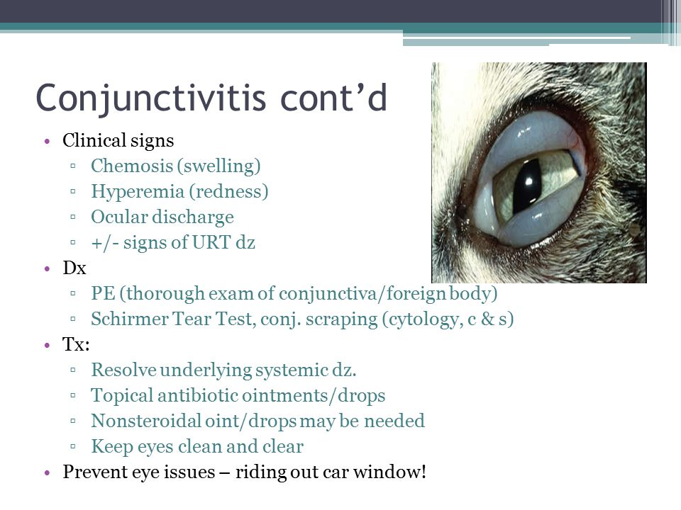 Conjunctivitis cont'd Clinical signs ▫Chemosis (swelling) ▫Hyperemia (redness) ▫Ocular discharge ▫+/- signs of URT dz Dx ▫PE (thorough exam of conjunc