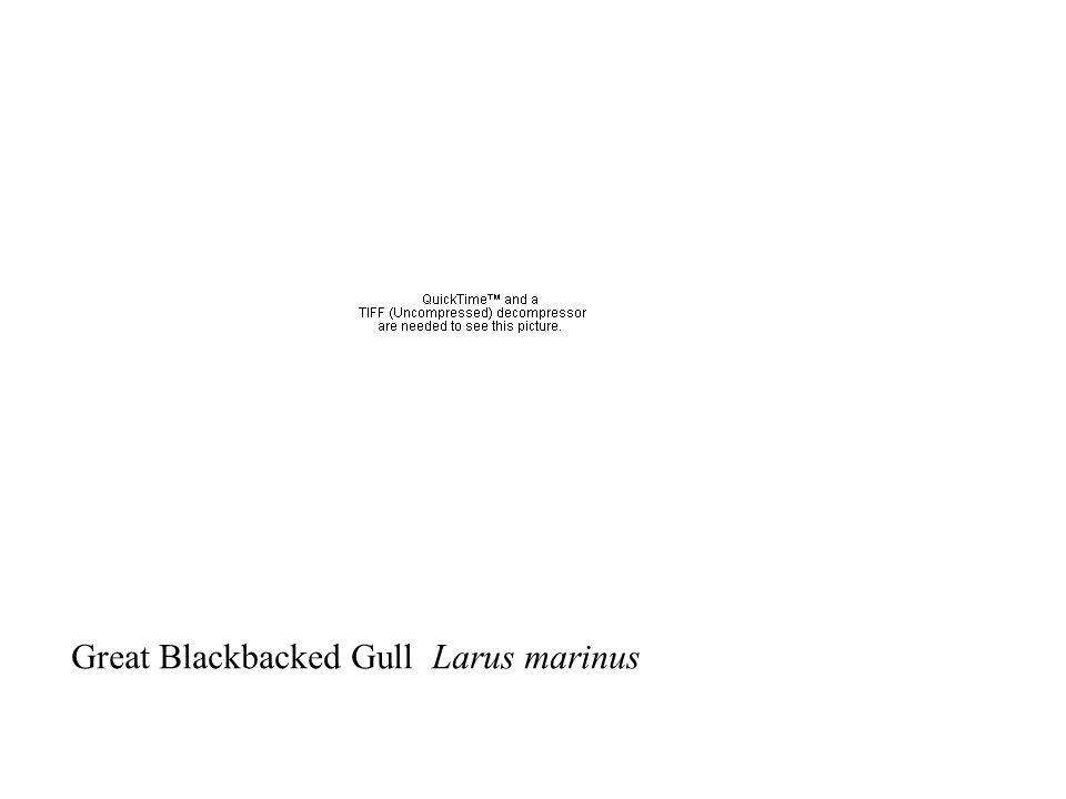 Great Blackbacked Gull Larus marinus