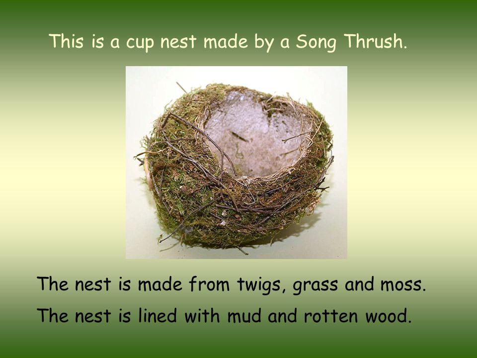 This is a cup nest made by a Song Thrush. The nest is made from twigs, grass and moss. The nest is lined with mud and rotten wood.