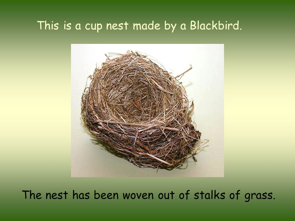 This is a cup nest made by a Blackbird. The nest has been woven out of stalks of grass.