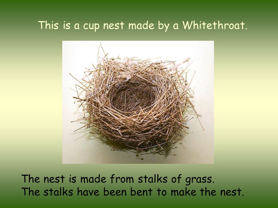 This is a cup nest made by a Whitethroat. The nest is made from stalks of grass. The stalks have been bent to make the nest.