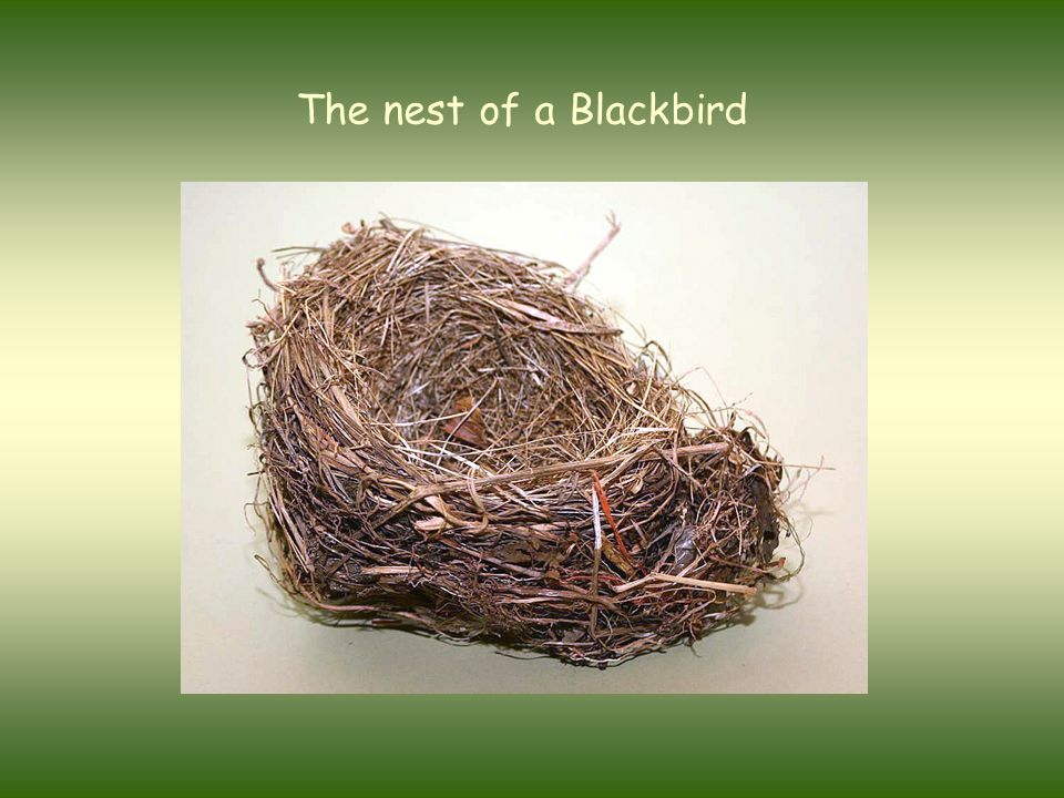 The nest of a Blackbird