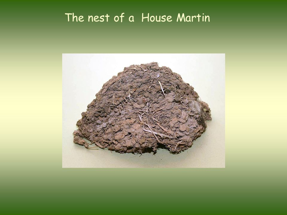 The nest of a House Martin