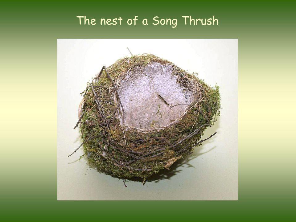 The nest of a Song Thrush