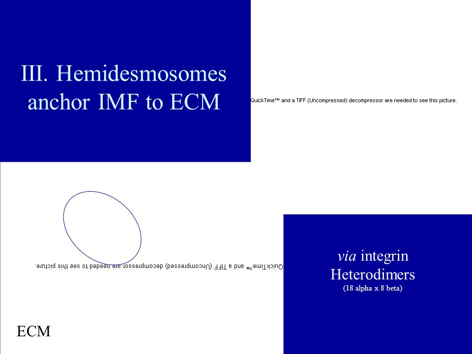 III. Hemidesmosomes anchor IMF to ECM via integrin Heterodimers (18 alpha x 8 beta) ECM RGD (Arg-Gly-Asp)