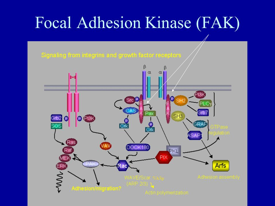 Focal Adhesion Kinase (FAK) /VASp