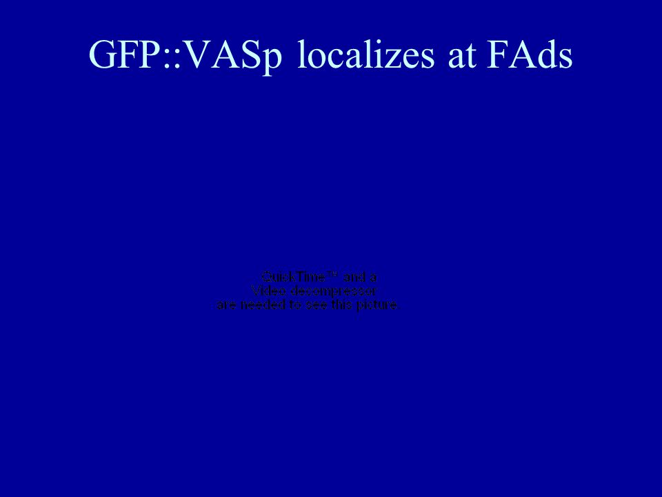 GFP::VASp localizes at FAds