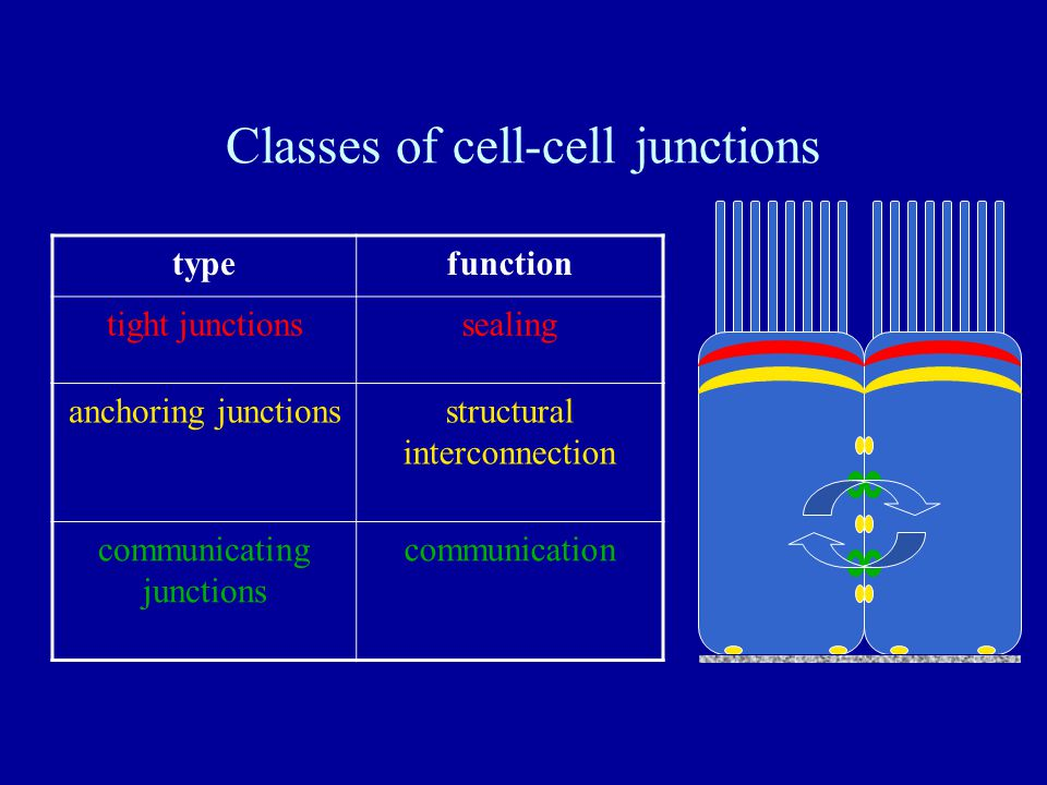 Classes of cell-cell junctions typefunction tight junctionssealing anchoring junctionsstructural interconnection communicating junctions communication