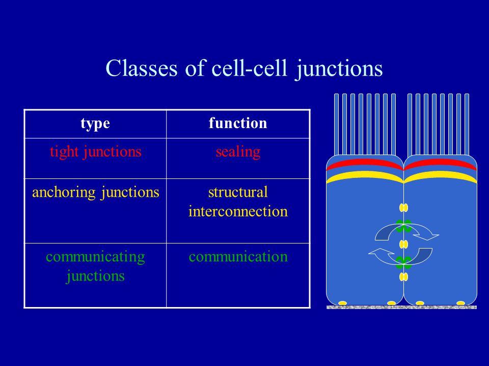 Tight (Occluding) Junctions ZO-1 ZO-3 DNA Claudins Occludins JAMs Organizers Informants Sealers ß-catenin PTEN