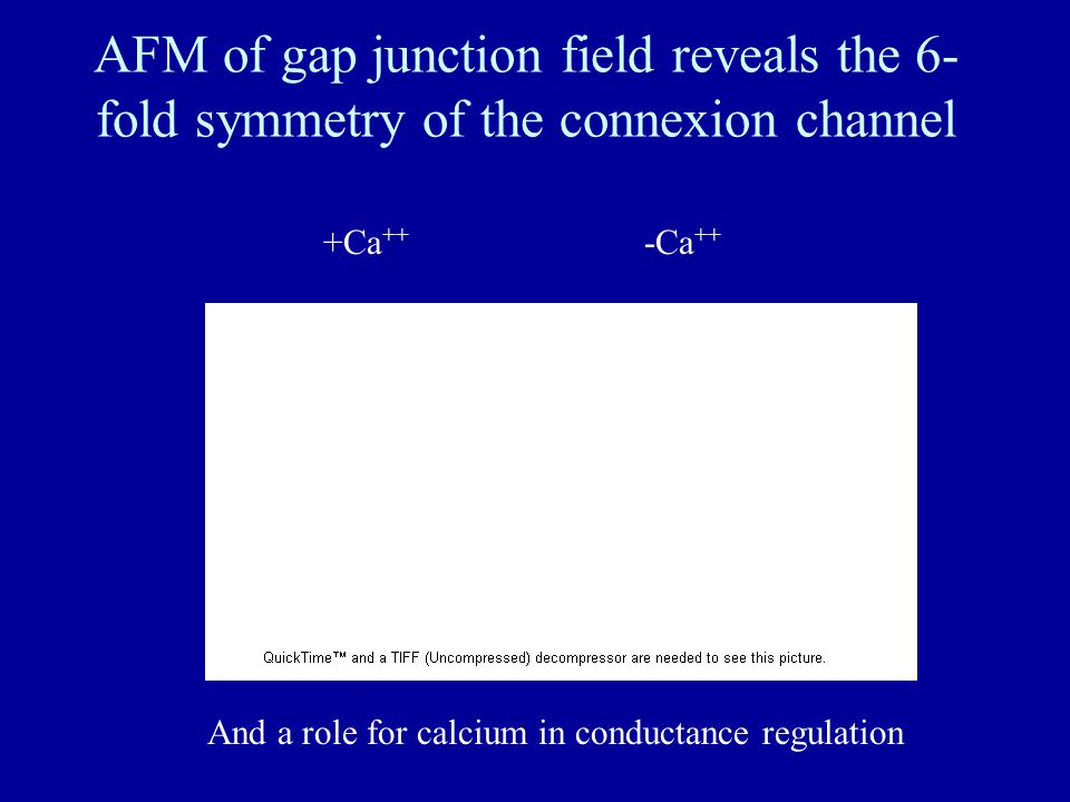 AFM of gap junction field reveals the 6- fold symmetry of the connexion channel +Ca ++ -Ca ++ And a role for calcium in conductance regulation