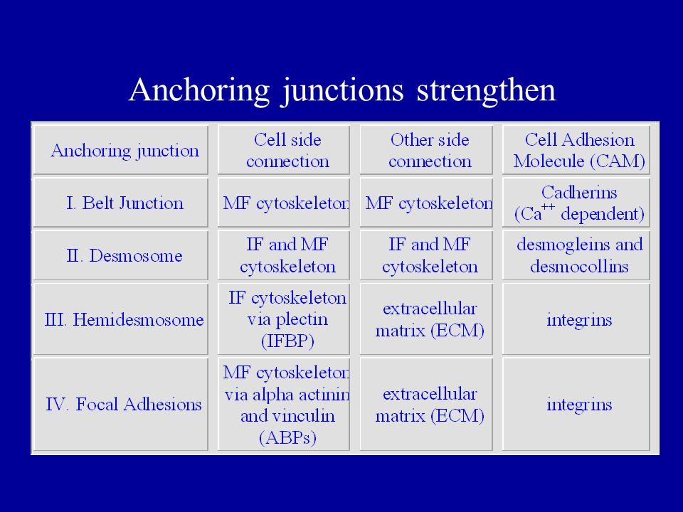 I. Belt (Adherens) Junctions in cardiac muscle Cadherin CAMs