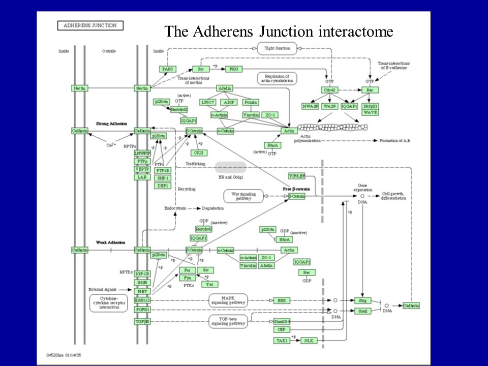The Adherens Junction Interactome The Adherens Junction interactome