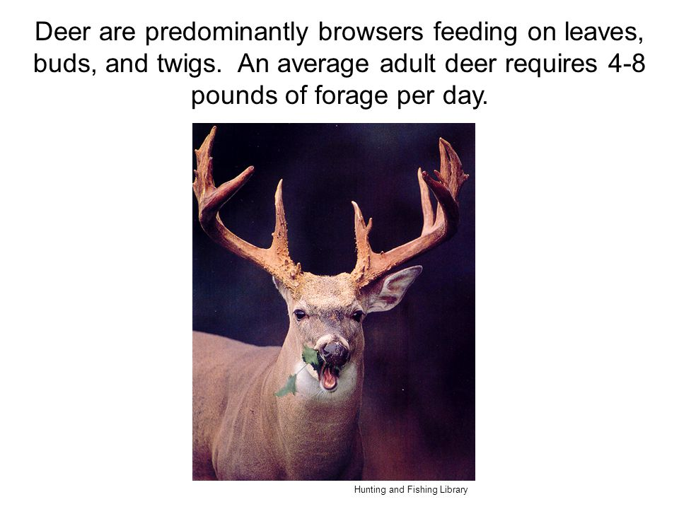 Deer are predominantly browsers feeding on leaves, buds, and twigs. An average adult deer requires 4-8 pounds of forage per day. Hunting and Fishing L